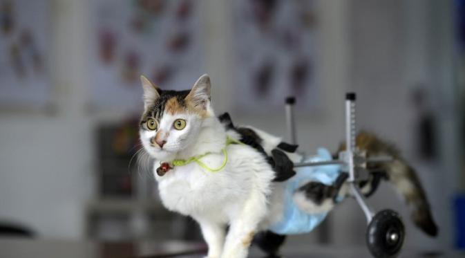 wpid 023541600 1427273202 000 hkg101602971 - Kasihan, Kucing ini Berjalan Menggunakan Roda