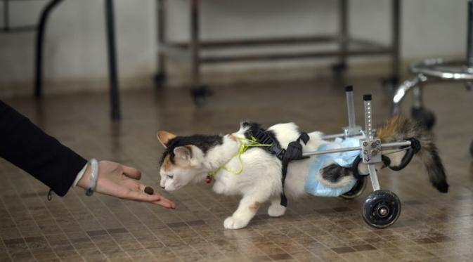 wpid 033402000 1427273402 000 hkg10160295 - Kasihan, Kucing ini Berjalan Menggunakan Roda
