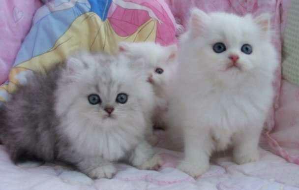 wpid 20150530015723 - Cara Menggemukan Kucing Persia