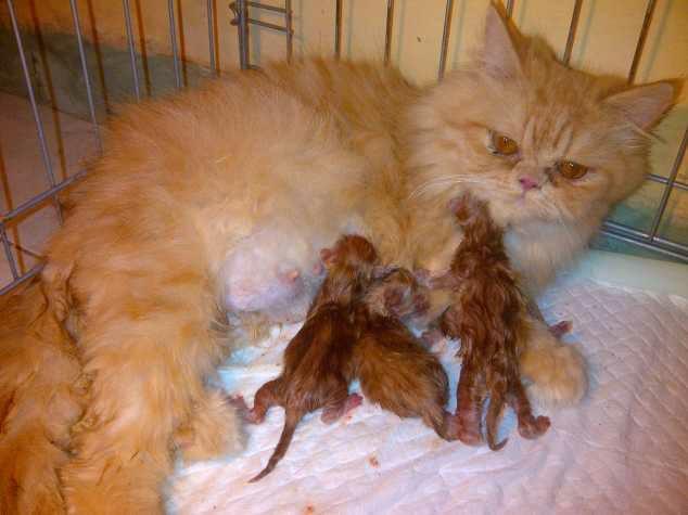 wpid 20150530020747 - Tips Mempersiapkan Kelahiran Kucing