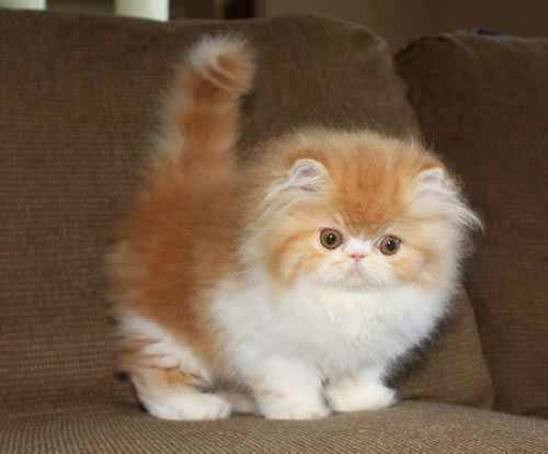 Pignose Cat