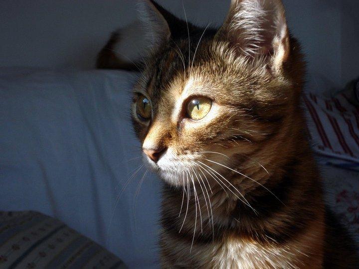 wpid 224741 186455668067366 7478095 n - Keunikan Pendengaran Kucing