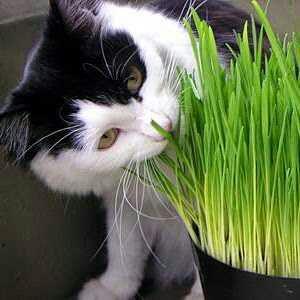 Ilustrasi: kucing makan rumput