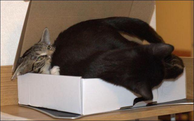 wpid kucing masuk kotak2.jpg - Alasan Kucing Senang Masuk Kotak