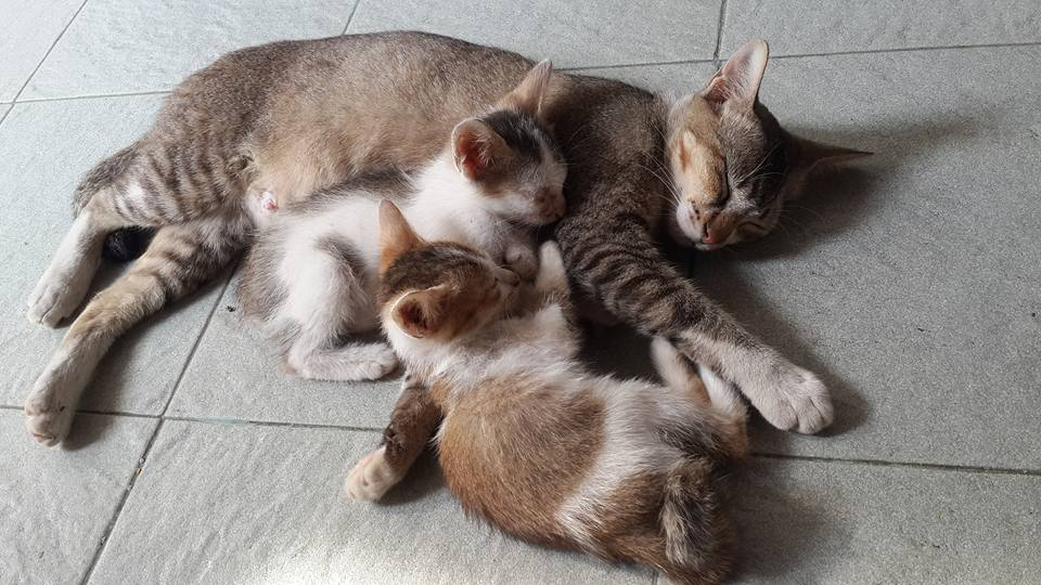 Kucingnya Aunty Vera, Kucing ras Indonesian Short Hair sangat pintar menjaga anak
