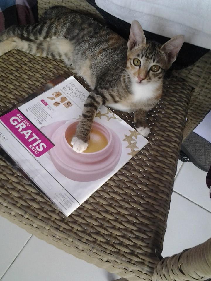kucing ras indonesia 4 - Indonesian Short Hair, Kucing Cantik nan Lincah yang Wajib Anda Miliki