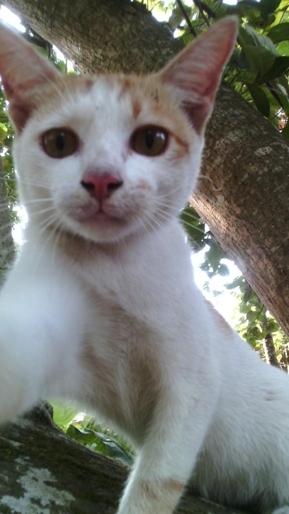 wpid wp 1448751748677 576x1024 - Indonesian Short Hair, Kucing Cantik nan Lincah yang Wajib Anda Miliki