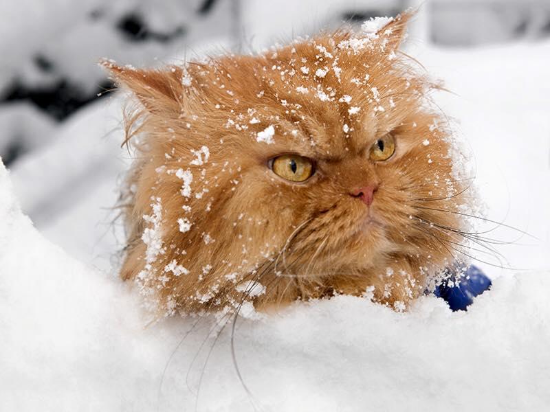 wpid wp 1451655432018 - Kenalan Yuk, Garfi si Kucing Persia Berwajah Jutek