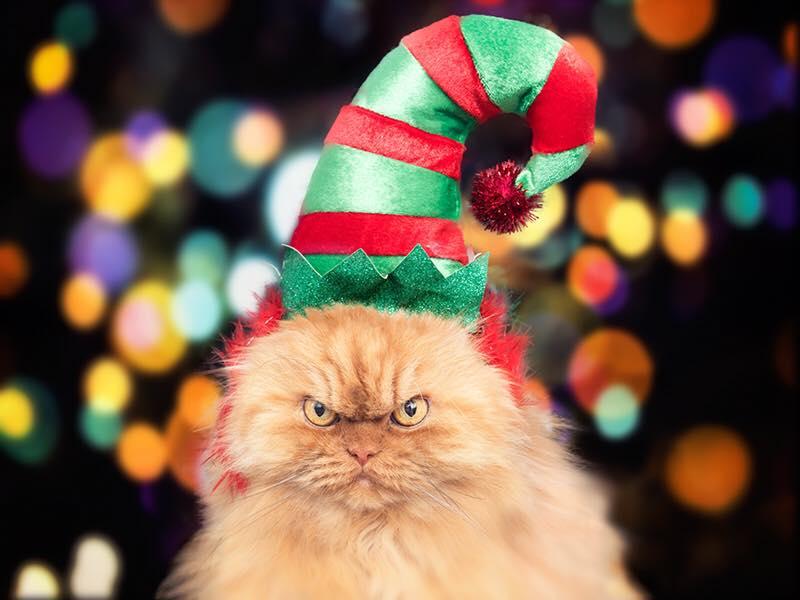 wpid wp 1451655519219 - Kenalan Yuk, Garfi si Kucing Persia Berwajah Jutek