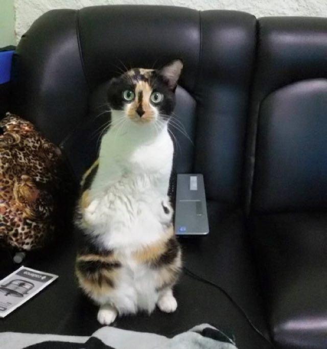 wpid wp 1455736219101 - Terlahir Cacat dengan 2 Kaki, Kucing ini Tetap Semangat Jalani Kehidupannya