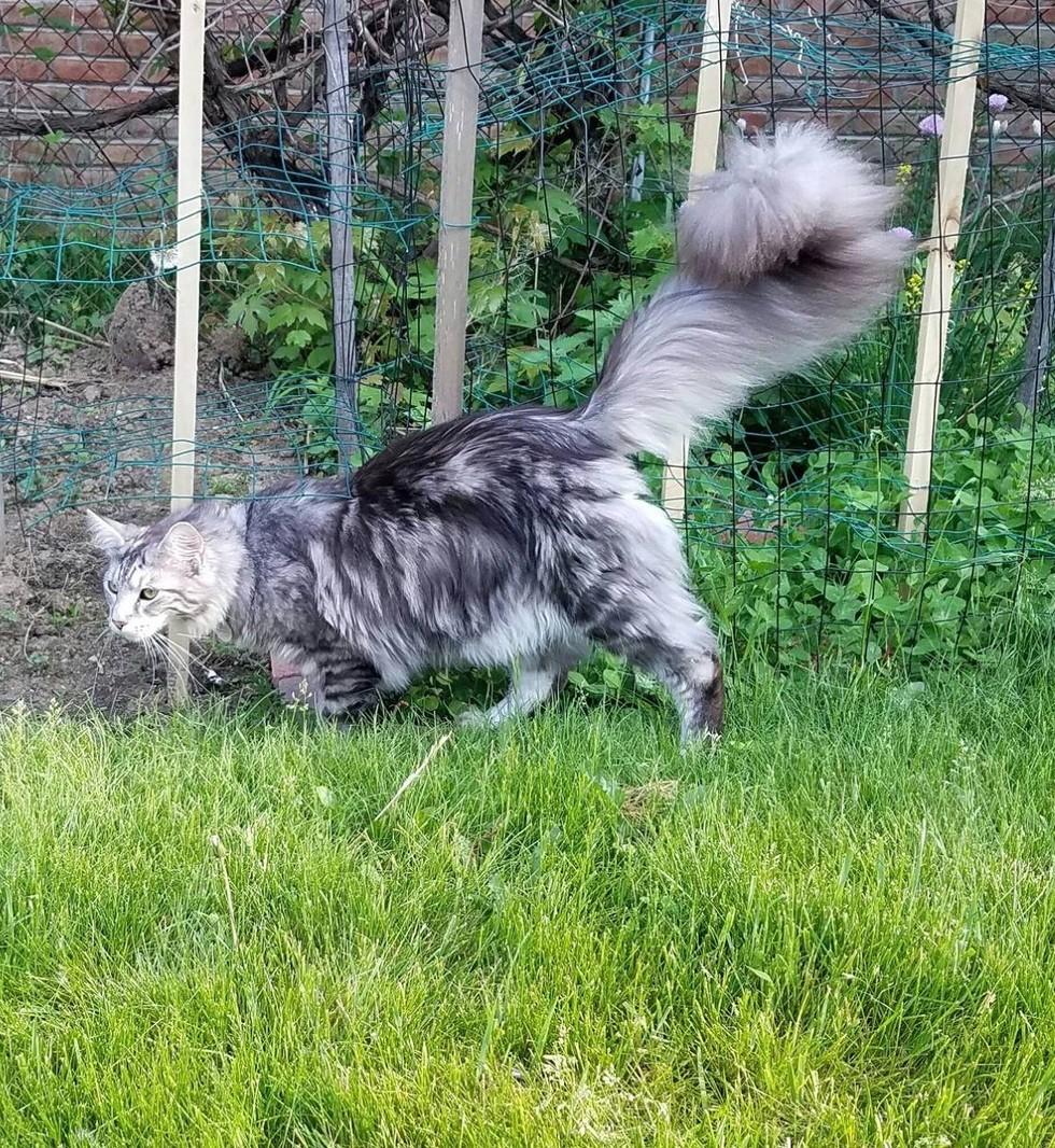 wp 1468990593554 - Cygnus, Kucing dengan Ekor Terpanjang di Dunia