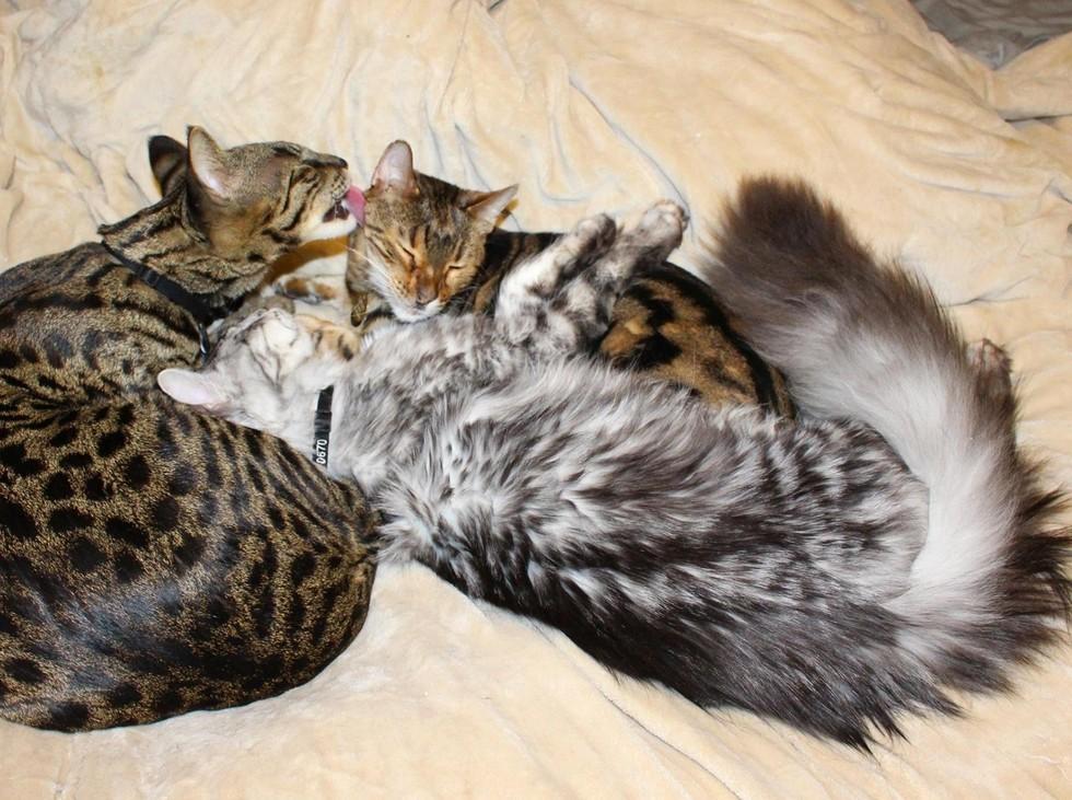 wp 1468990679309 - Cygnus, Kucing dengan Ekor Terpanjang di Dunia