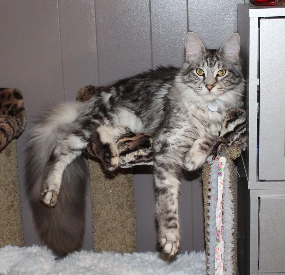 wp 1468990744396 - Cygnus, Kucing dengan Ekor Terpanjang di Dunia