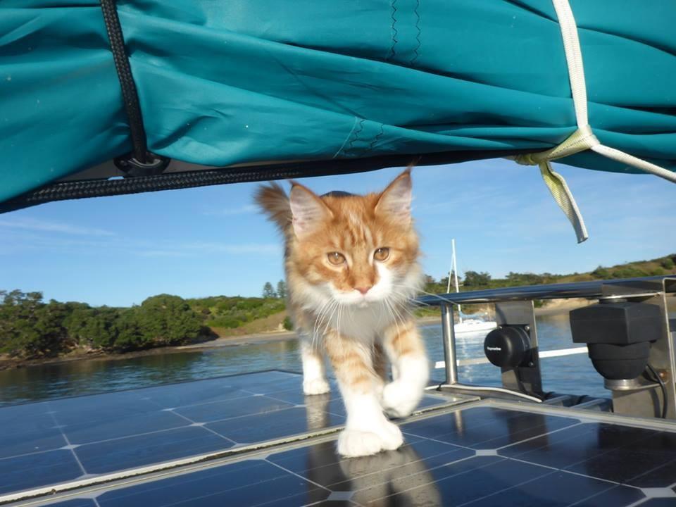 wp 1469078838236 - Skatty, Seekor Kucing Maine Coon yang Menjadi Navigator Pelaut Tuna Rungu