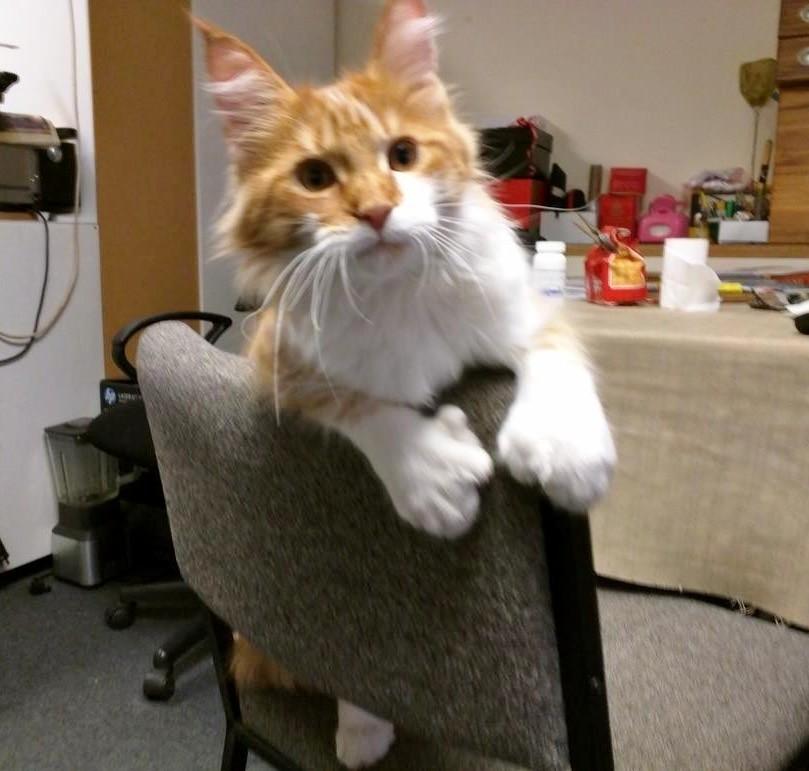 wp 1469081996327 - Skatty, Seekor Kucing Maine Coon yang Menjadi Navigator Pelaut Tuna Rungu
