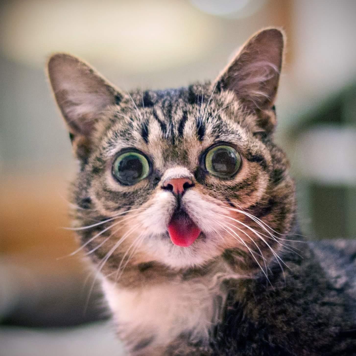 wp 1469198822773 - Imutnya Lil Bub, Kucing Mutan yang Menggemaskan