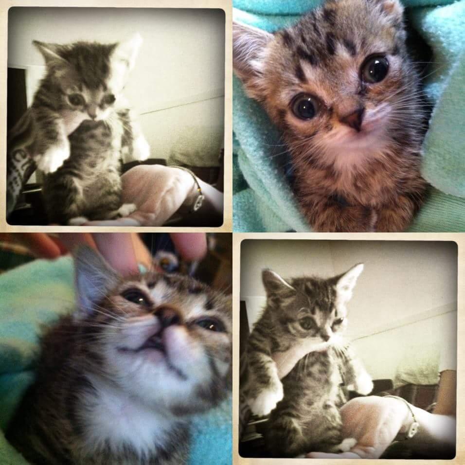 wp 1469201722497 - Imutnya Lil Bub, Kucing Mutan yang Menggemaskan