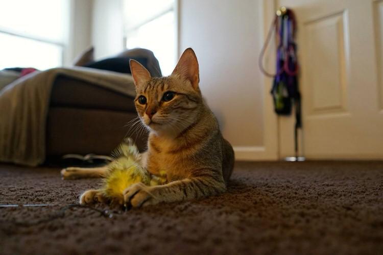 wp 1469332689171 - Kucing ini Selalu Berlari Menghampiri Pemiliknya Ketika Pemiliknya Bernyanyi