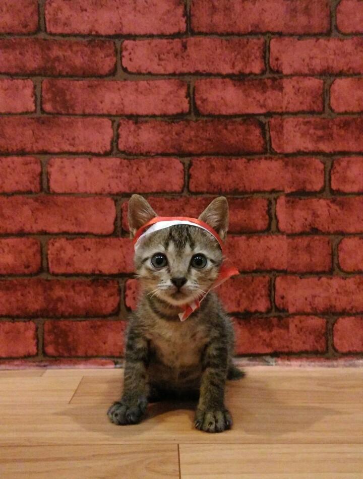 kucing merdeka - Parade Kucing Kemerdekaan
