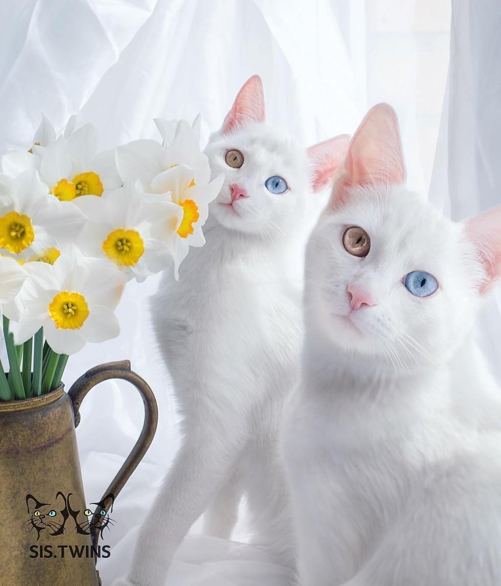 Meet Iris & Abyss. Gambar: lovemeow.com