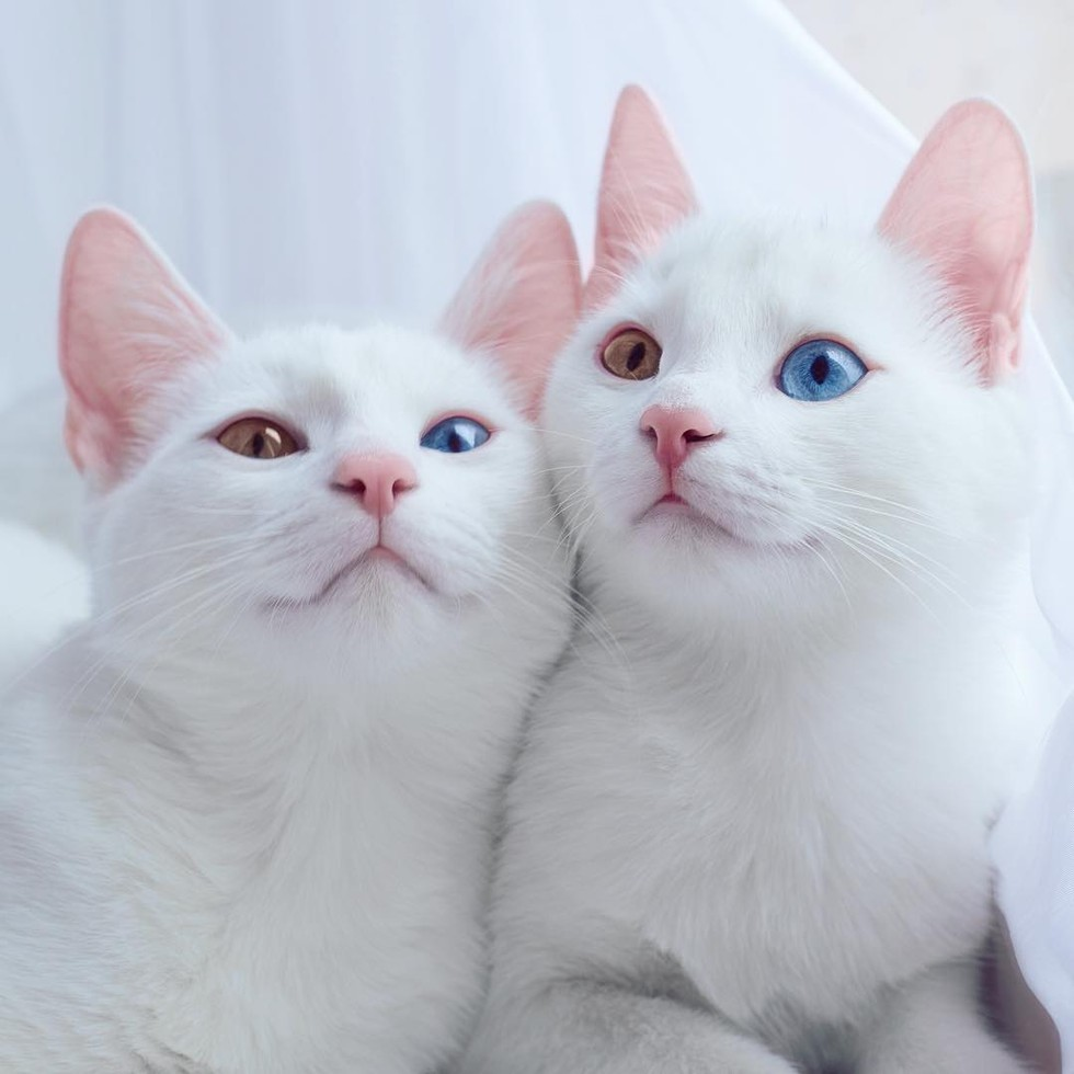 Dua bersaudara photogenic bermata odd eye. Gambar: lovemeow.com