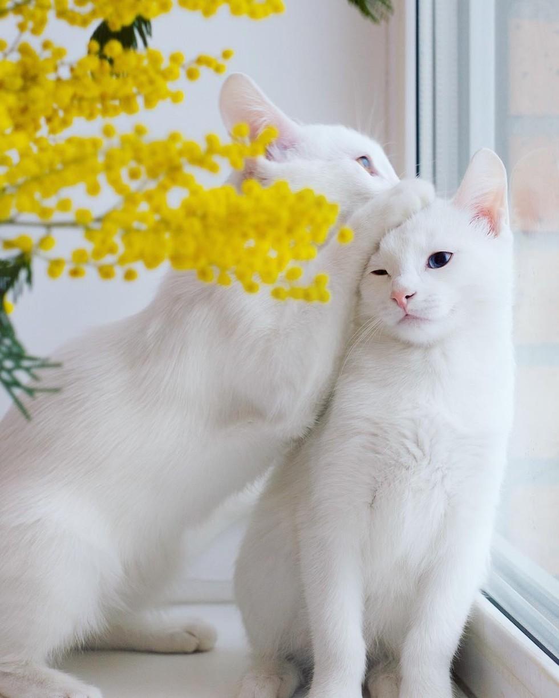 wp 1471088299955 - Cantiknya Dua Kucing Kembar Odd Eye Berwajah Photogenic