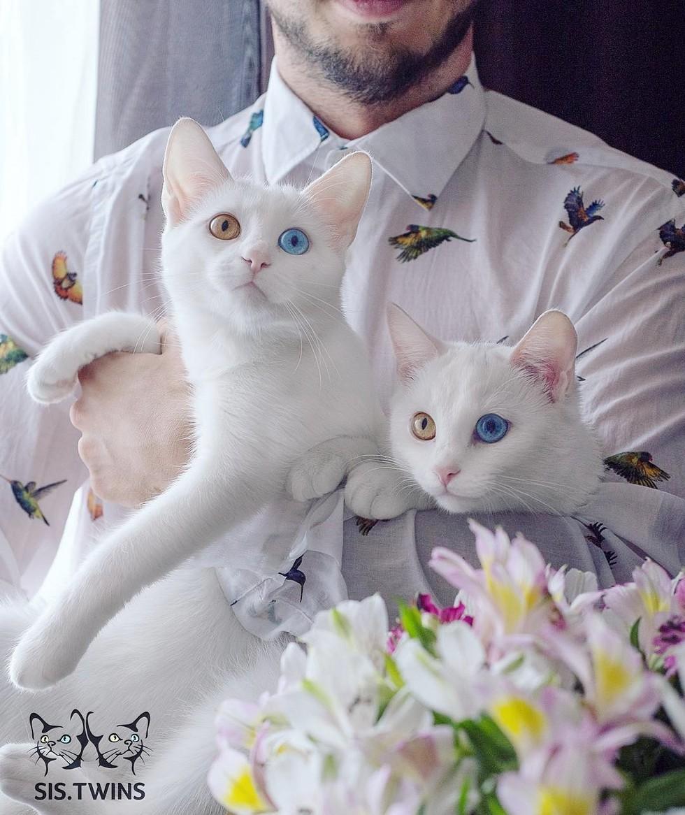 wp 1471088527698 - Cantiknya Dua Kucing Kembar Odd Eye Berwajah Photogenic