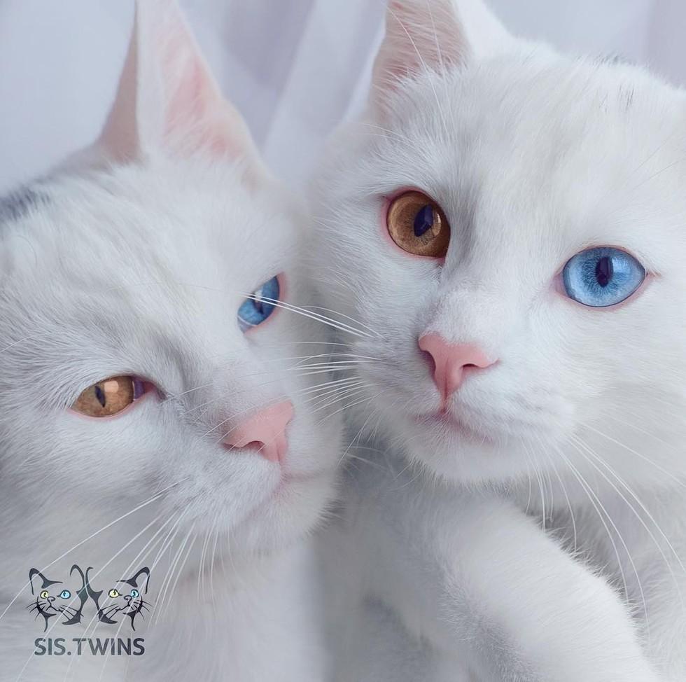 wp 1471088634940 - Cantiknya Dua Kucing Kembar Odd Eye Berwajah Photogenic