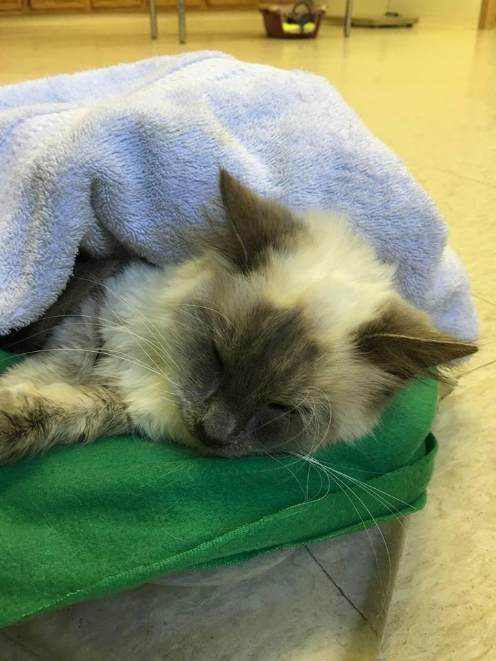 Sasha selalu bersembunyi dalam selimut, ternyata alasannya .... Gambar: lovemeow.com
