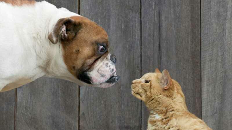 Seekor kucing melawan 7 anjing Pitt Bul. Gambar: Daily Mail