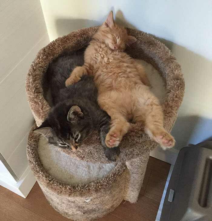 wp 1471873424073 - Lucu : Meski Tidak Muat, Kucing ini Tetap Memaksa Tidur Bersama