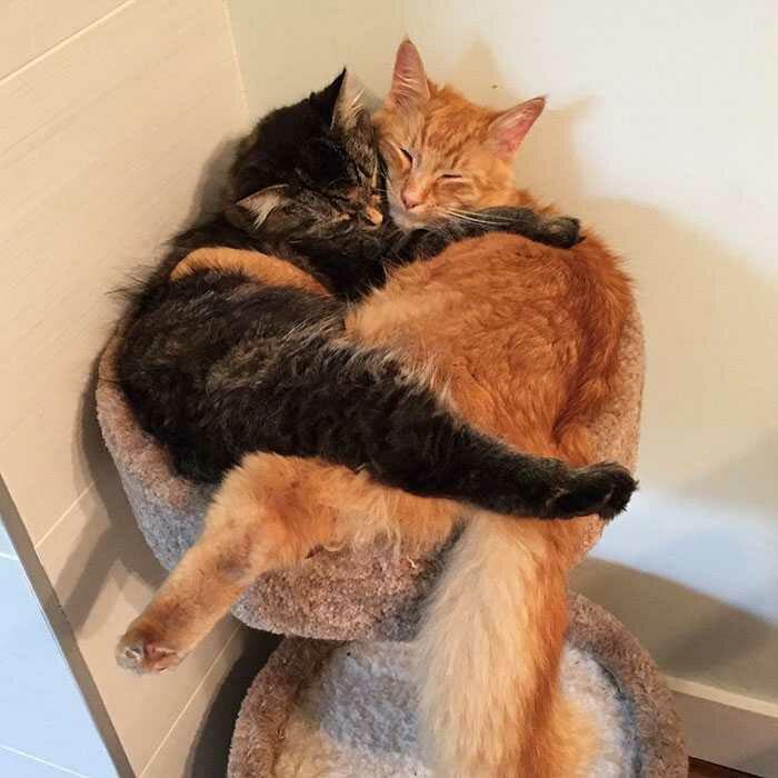 wp 1471873639719 - Lucu : Meski Tidak Muat, Kucing ini Tetap Memaksa Tidur Bersama