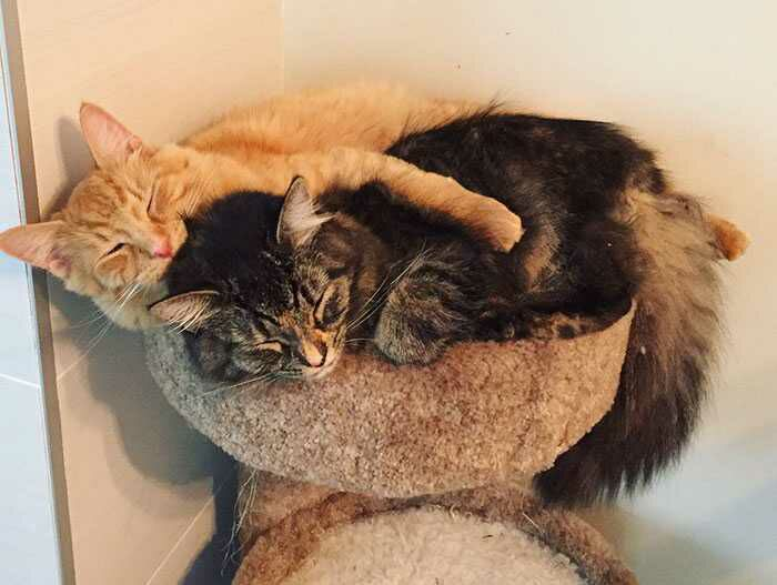 wp 1471873766895 - 6 Fakta Unik Tentang Kebiasaan Tidur Kucing