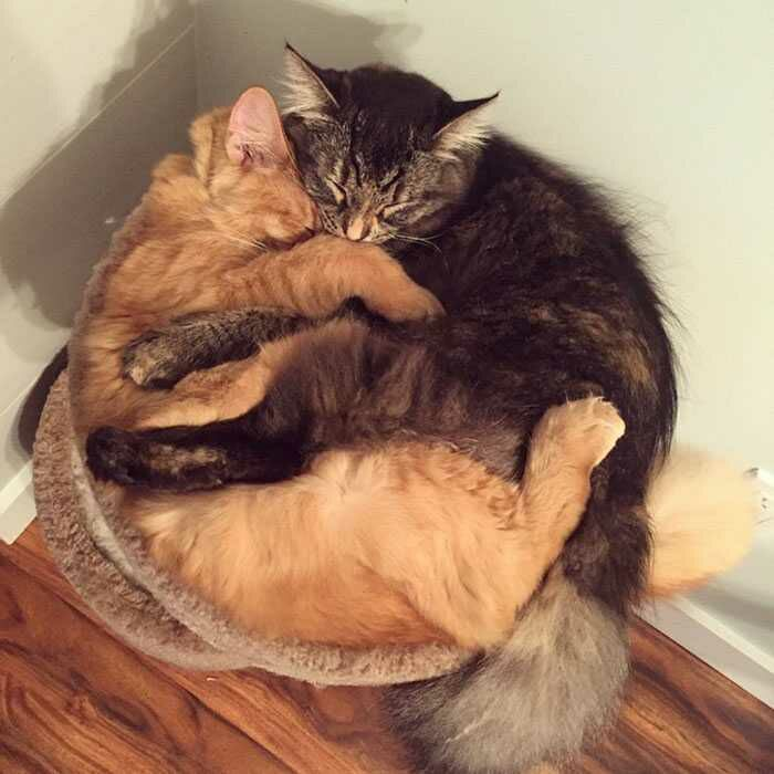 wp 1471873937944 - Lucu : Meski Tidak Muat, Kucing ini Tetap Memaksa Tidur Bersama