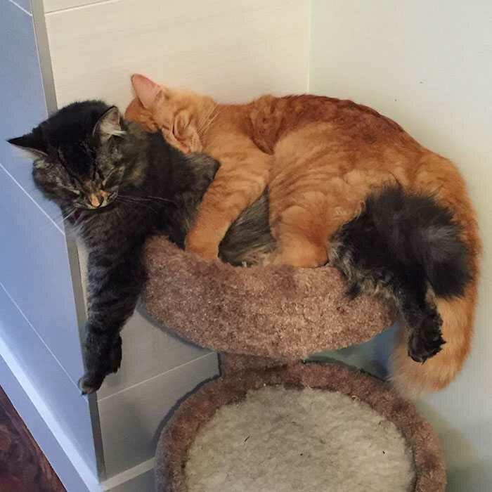 wp 1471874044975 - Lucu : Meski Tidak Muat, Kucing ini Tetap Memaksa Tidur Bersama