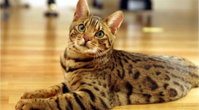 bengal - 8 Cara Mudah Memotret Kucing Agar Mendapatkan Hasil yang Sempurna