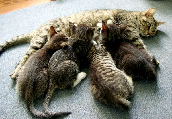 kucing-menyusui-anaknya