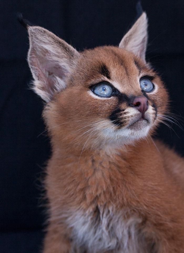 baby caracal3 - 12 Gambar Baby Caracal yang Bakal Membuat Cat Lovers Jatuh Hati dalam Sekejap