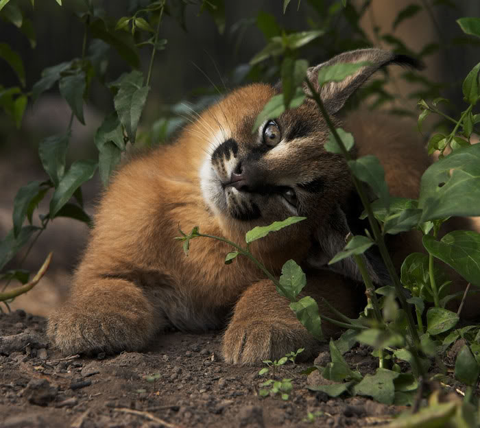 baby caracal8 - Enam Kondisi Halaman Rumah Berikut Dapat Membahayakan Nyawa Kucing Kesayangan
