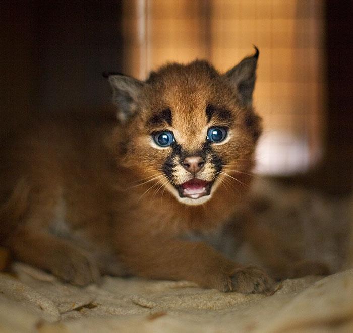 baby caracal9 - 12 Gambar Baby Caracal yang Bakal Membuat Cat Lovers Jatuh Hati dalam Sekejap