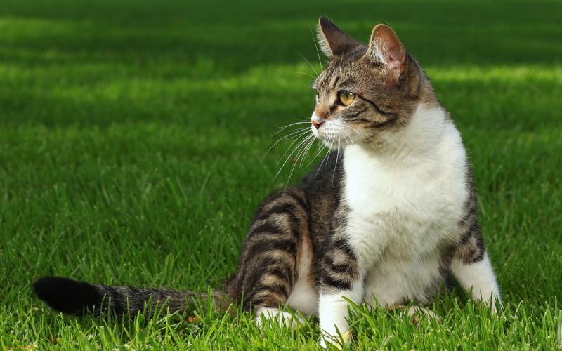 Kucing domestik atau biasa dikenal kucing kampung.
