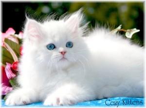 "bulu indah 300x223 - Ingin Kucing Sehat ? ""Ditelorin"" aja"