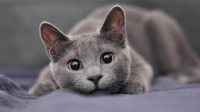 grey - Yuk Kenali Sifat Si Mpus Lewat Warna Bulunya