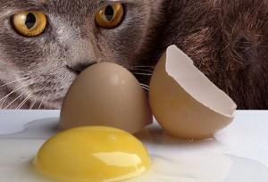 "jiu rf photo of cat eying broken raw egg 300x204 - Ingin Kucing Sehat ? ""Ditelorin"" aja"