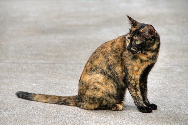 kucing belang - Yuk Kenali Sifat Si Mpus Lewat Warna Bulunya