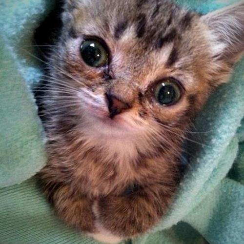 lil bub - Alasan Induk Kucing Tidak Mau Menyusui Anaknya
