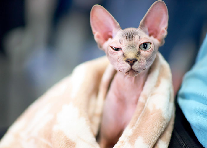 Vlad yang dicukur habis bulunya dan dijual oleh breeder nakal menjadi kucing Sphynx.