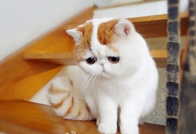 Kucing Exotic