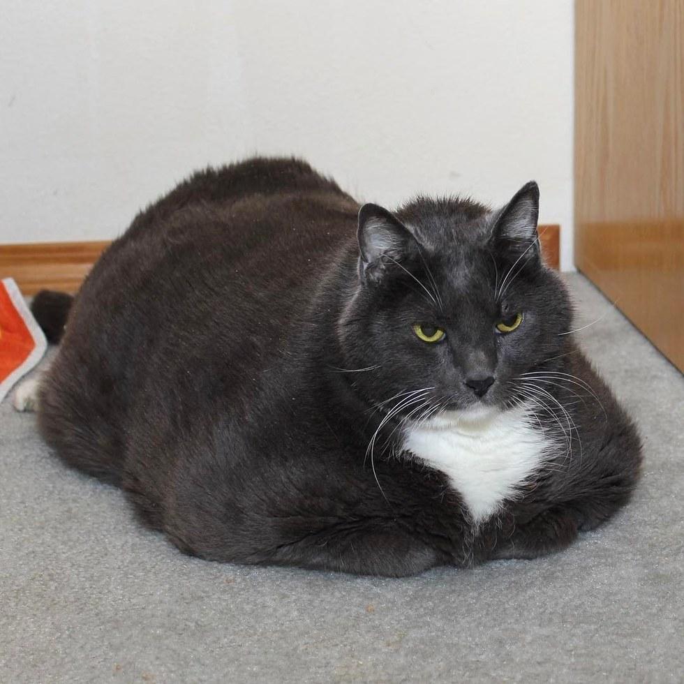 watson - Obesitas, Kucing Berbobot 16 Kg ini Berhasil Turunkan Berat Badan dengan Jalani Diet Ketat