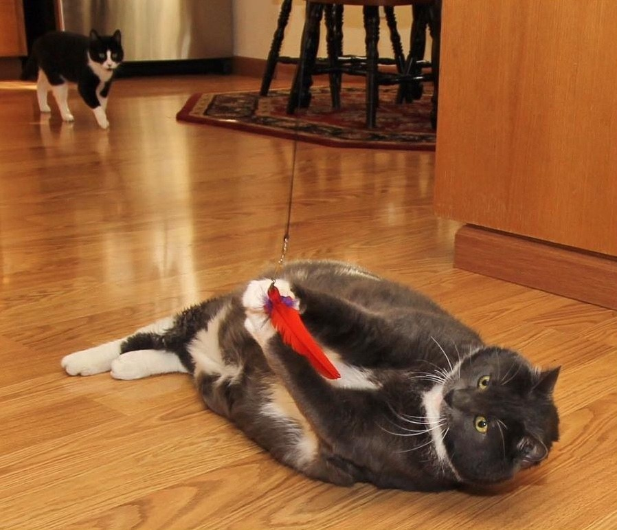 watson5 - Obesitas, Kucing Berbobot 16 Kg ini Berhasil Turunkan Berat Badan dengan Jalani Diet Ketat